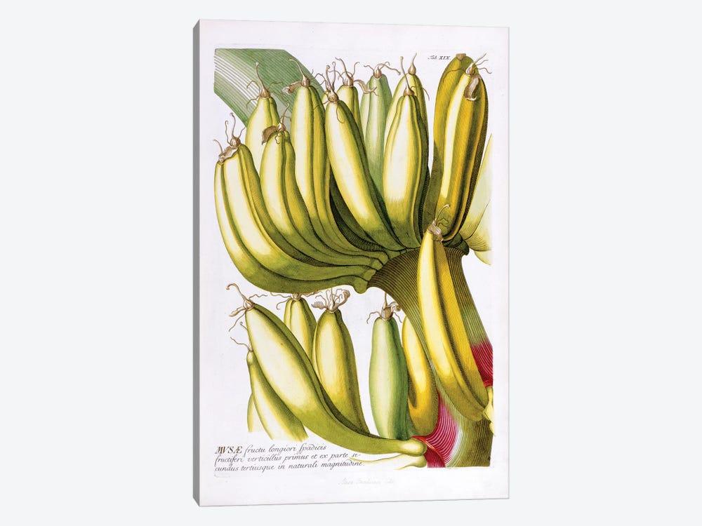 Musae (Bananas) I by Georg Dionysius Ehret 1-piece Canvas Wall Art