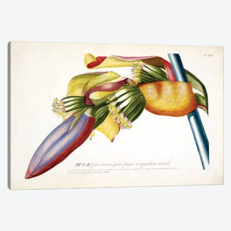 Musae (Bananas) II Canvas Print #GDE6} by Georg Dionysius Ehret Canvas Artwork