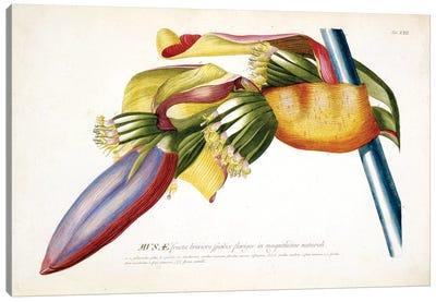 Musae (Bananas) II Canvas Art Print