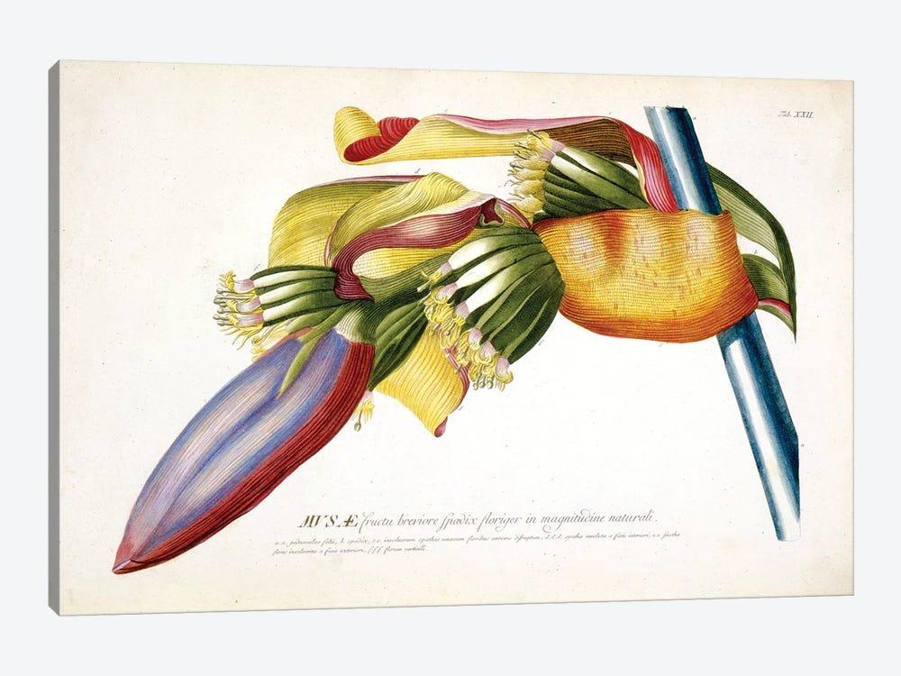 Musae (Bananas) II by Georg Dionysius Ehret 1-piece Canvas Print
