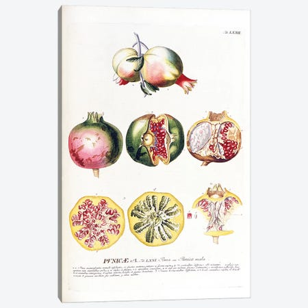 Punicae (Pomegranate) Canvas Print #GDE7} by Georg Dionysius Ehret Canvas Wall Art