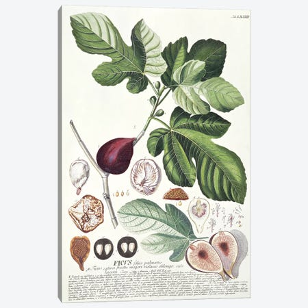 Ficus   3-Piece Canvas #GDE8} by Georg Dionysius Ehret Canvas Art Print