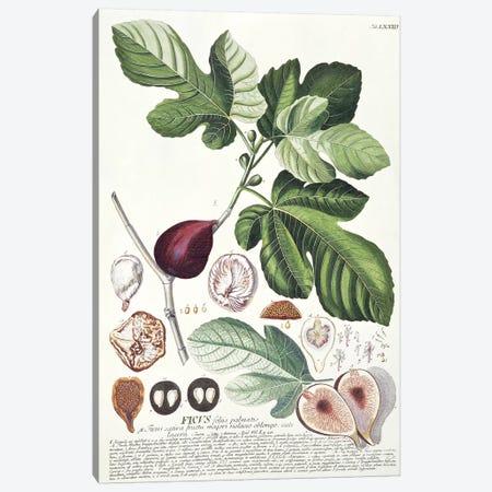 Ficus   Canvas Print #GDE8} by Georg Dionysius Ehret Canvas Art Print