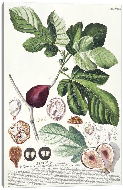 Ficus   Canvas Art Print