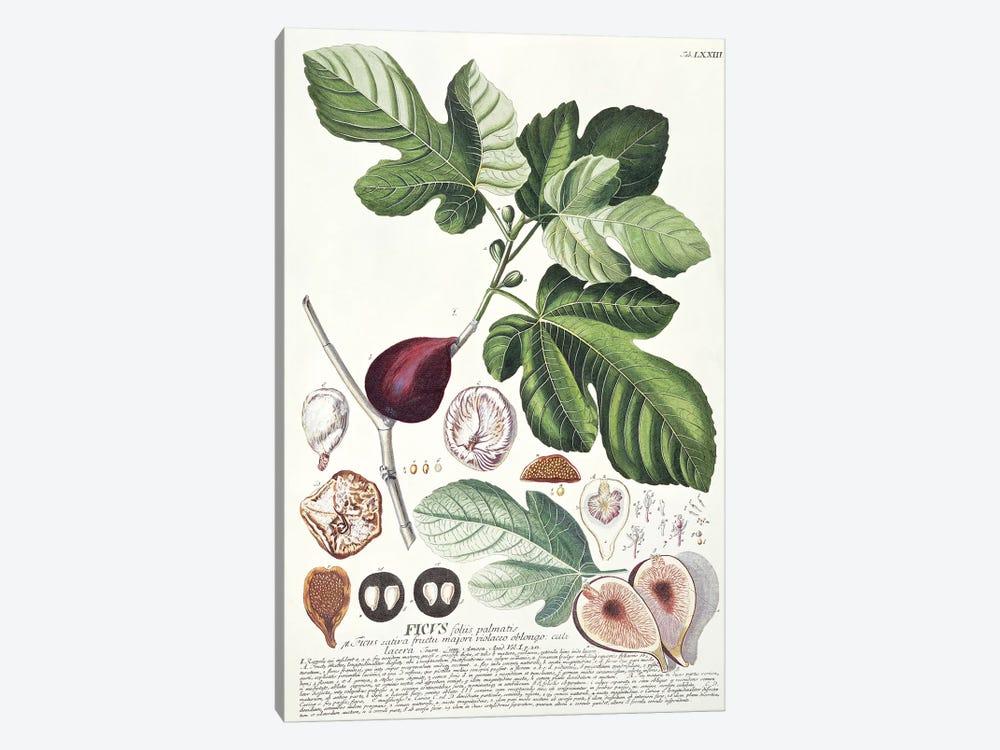 Ficus   by Georg Dionysius Ehret 1-piece Canvas Art Print