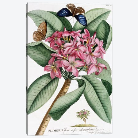 Frangipani , November 1749  Canvas Print #GDE9} by Georg Dionysius Ehret Canvas Print
