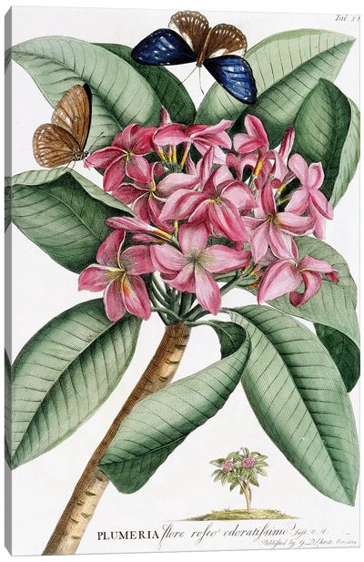 Frangipani , November 1749  Canvas Art Print