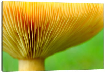 Fenugreek Milk Cap Bottom Of Fenugreek Milkcap Cap, Haute-Savoie, France Canvas Art Print