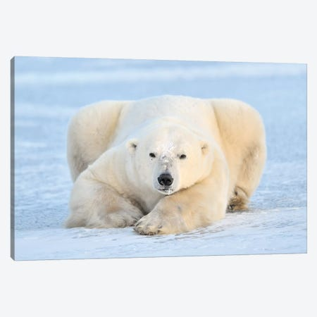 Polar Bear On Pack Ice, Churchill, Manitoba, Canada Canvas Print #GDN2} by Andre Gilden Canvas Wall Art
