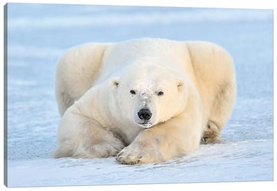 Polar Bear On Pack Ice, Churchill, Manitoba, Canada Canvas Art Print