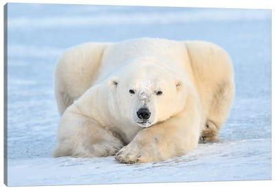 Polar Bear On Pack Ice, Churchill, Manitoba, Canada Canvas Art Print