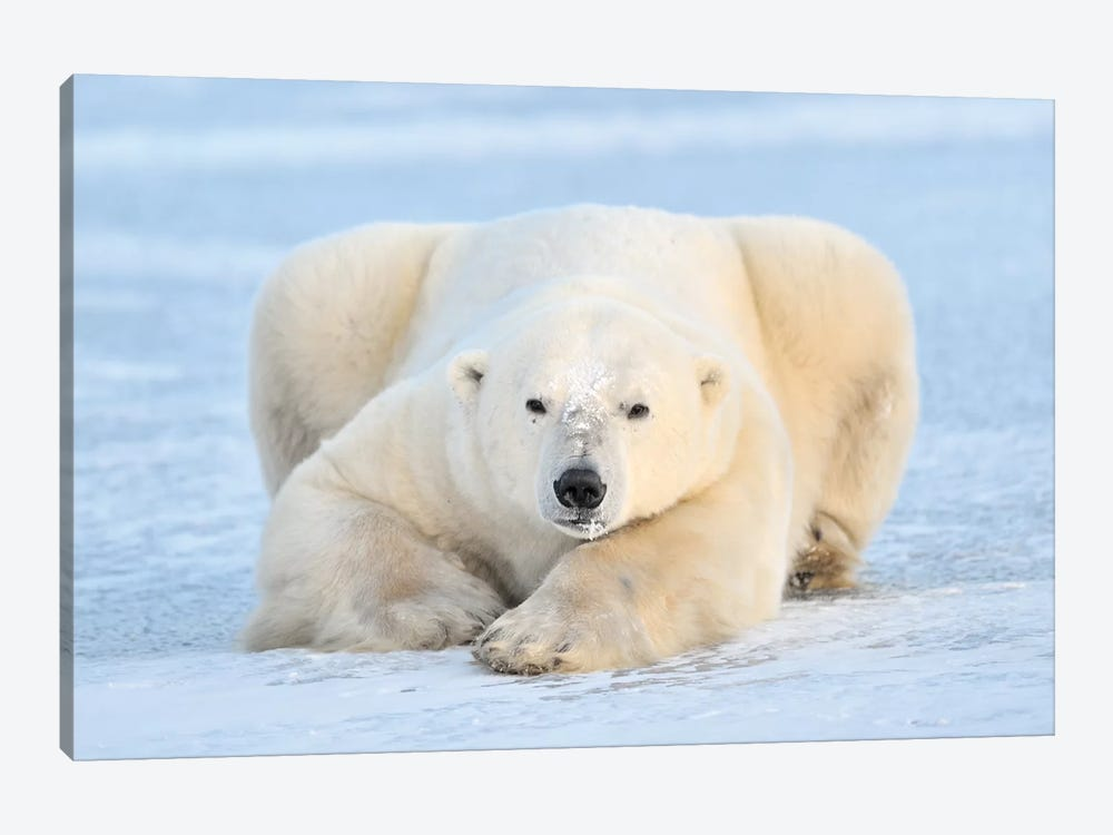 Polar Bear On Pack Ice, Churchill, Manitoba, Canada by Andre Gilden 1-piece Canvas Wall Art