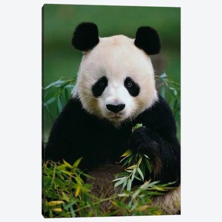 Giant Panda Eating Bamboo, China Canvas Print #GEE13} by Gerry Ellis Canvas Art Print