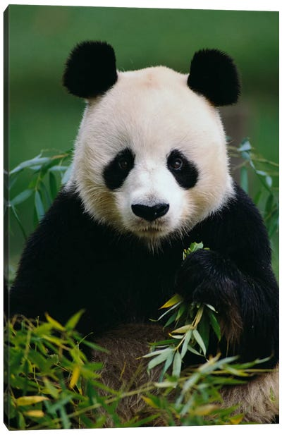 Giant Panda Eating Bamboo, China Canvas Art Print