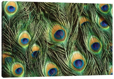 Indian Peafowl Display Feathers, Native To India And Southeast Asia Canvas Art Print