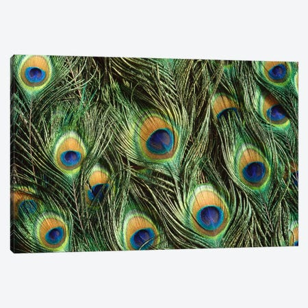 Indian Peafowl Display Feathers, Native To India And Southeast Asia 3-Piece Canvas #GEE14} by Gerry Ellis Canvas Wall Art