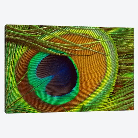 Indian Peafowl Male Display Feather, Native To India And Southeast Asia 3-Piece Canvas #GEE15} by Gerry Ellis Canvas Artwork