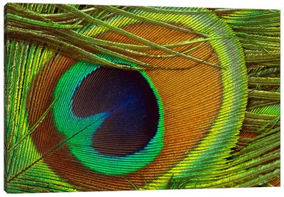 Indian Peafowl Male Display Feather, Native To India And Southeast Asia Canvas Art Print
