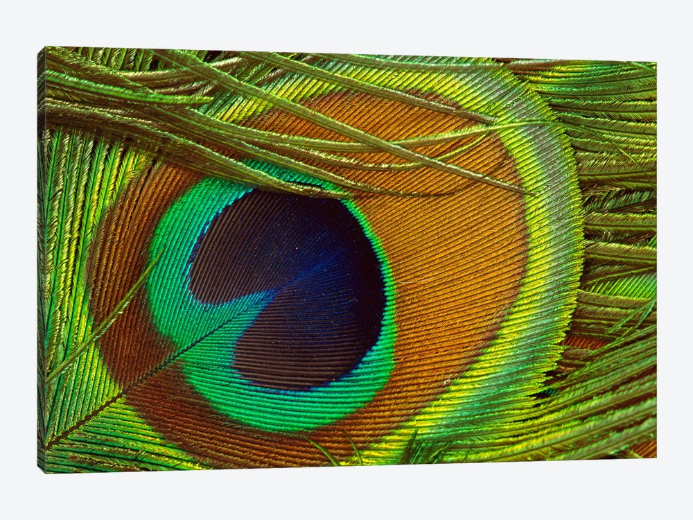 Indian Peafowl Male Display Feather, Native To India And Southeast Asia by Gerry Ellis 1-piece Canvas Print