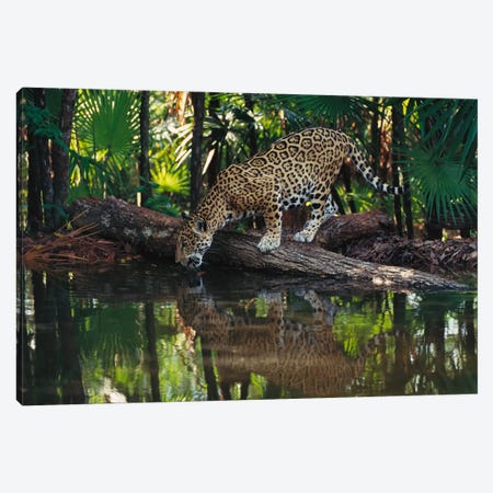 Jaguar Drinking, Belize Zoo, Belize Canvas Print #GEE16} by Gerry Ellis Canvas Wall Art