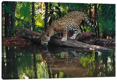 Jaguar Drinking, Belize Zoo, Belize Canvas Art Print