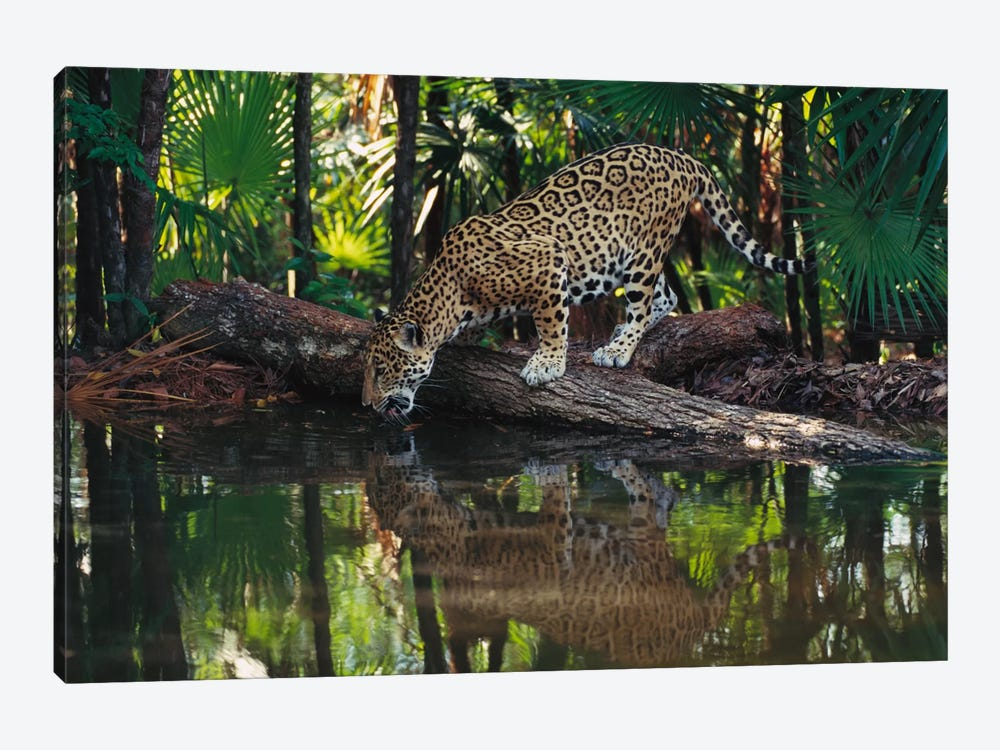Jaguar Drinking, Belize Zoo, Belize by Gerry Ellis 1-piece Canvas Artwork
