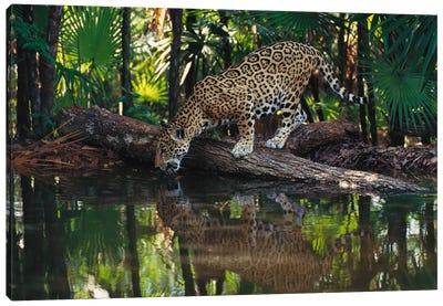 Jaguar Drinking, Belize Zoo, Belize Canvas Art Print