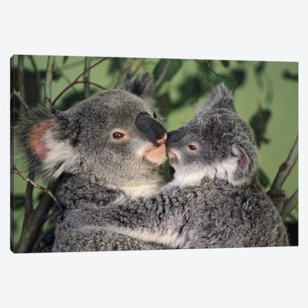 Koala Mother With Joey, Australia Canvas Print #GEE17} by Gerry Ellis Canvas Wall Art