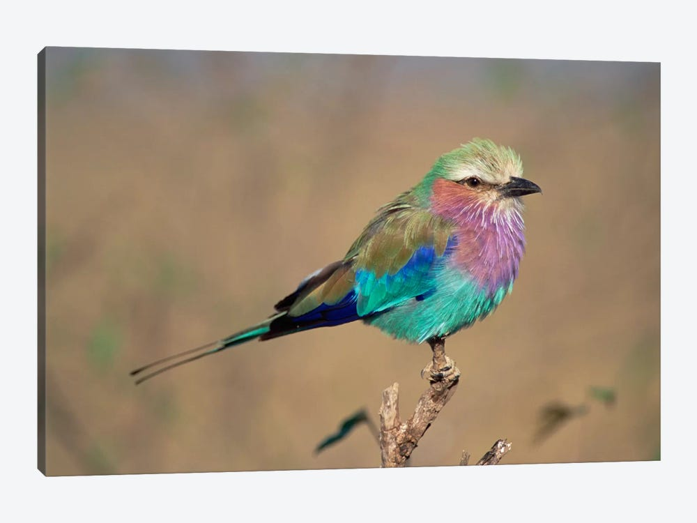 Lilac-Breasted Roller Perching, Masai Mara Game Reserve, Kenya by Gerry Ellis 1-piece Canvas Art