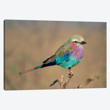 Lilac-Breasted Roller Perching, Masai Mara Game Reserve, Kenya Canvas Print #GEE18} by Gerry Ellis Art Print