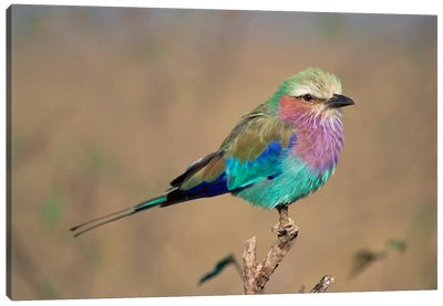 Lilac-Breasted Roller Perching, Masai Mara Game Reserve, Kenya Canvas Art Print