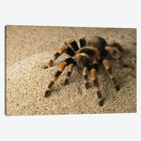 Mexican Red-Knee Tarantula, Mexico Canvas Print #GEE19} by Gerry Ellis Art Print