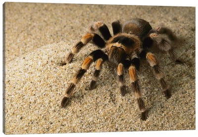 Mexican Red-Knee Tarantula, Mexico Canvas Art Print