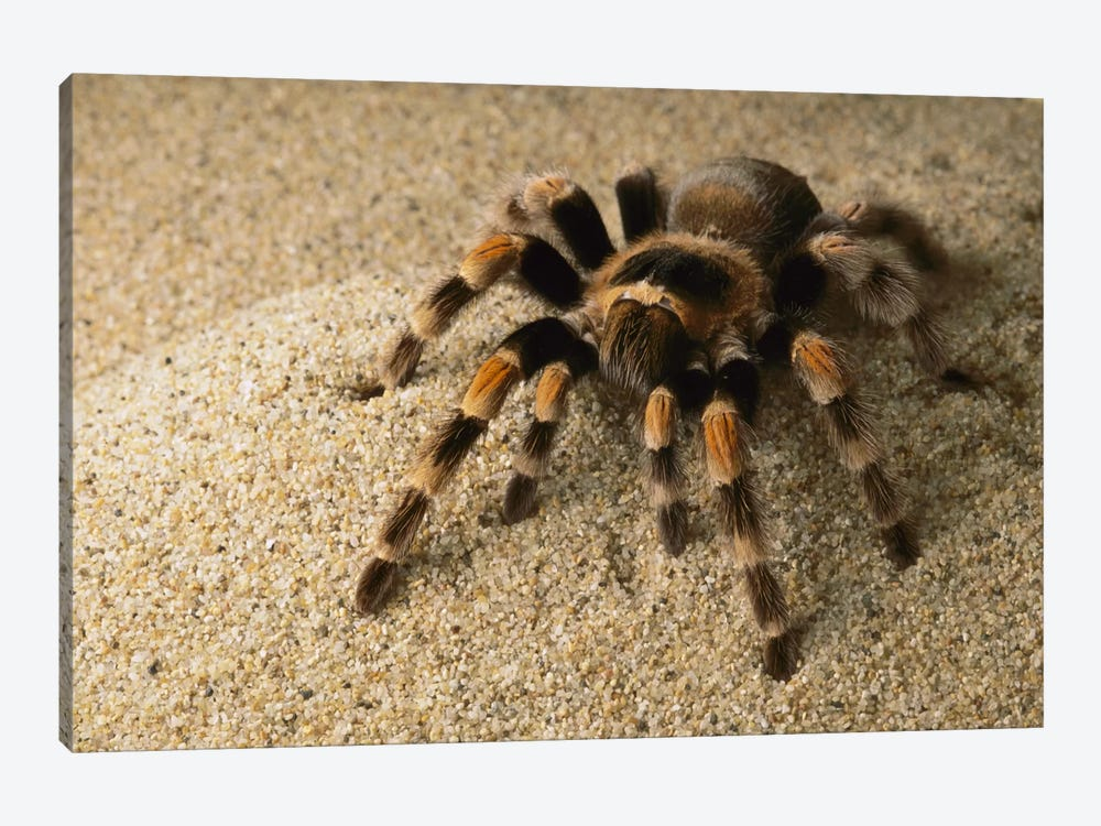 Mexican Red-Knee Tarantula, Mexico 1-piece Art Print
