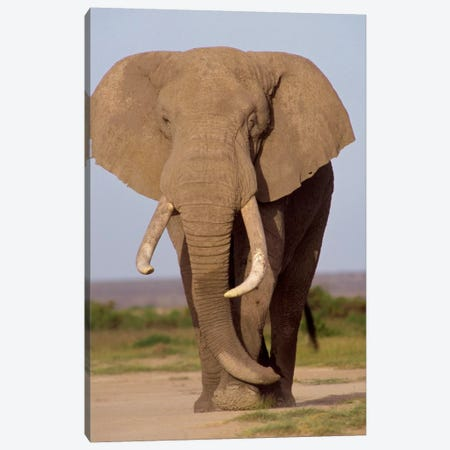 African Elephant Bull, Amboseli National Park, Kenya Canvas Print #GEE1} by Gerry Ellis Canvas Wall Art