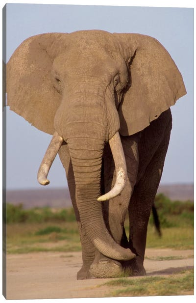 African Elephant Bull, Amboseli National Park, Kenya Canvas Art Print