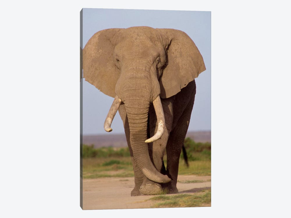 African Elephant Bull, Amboseli National Park, Kenya by Gerry Ellis 1-piece Art Print
