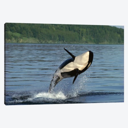 Orca Breaching, Inside Passage, Alaska Canvas Print #GEE20} by Gerry Ellis Canvas Artwork
