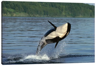 Orca Breaching, Inside Passage, Alaska Canvas Art Print
