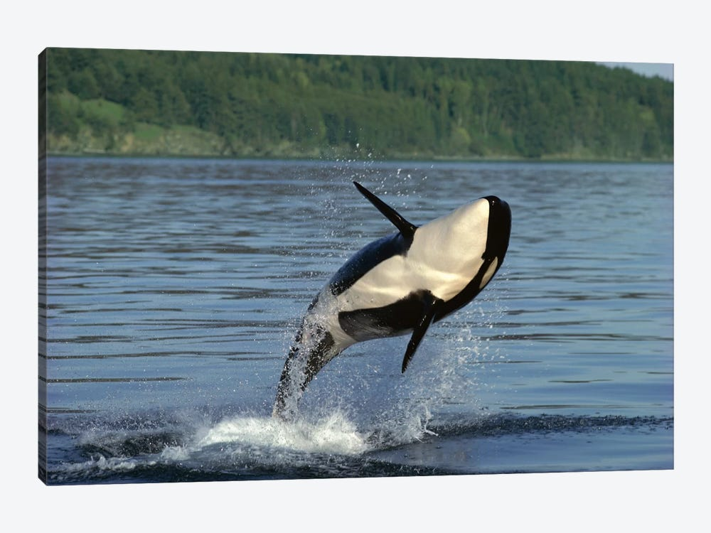 Orca Breaching, Inside Passage, Alaska by Gerry Ellis 1-piece Art Print