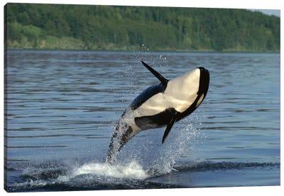 Orca Breaching, Inside Passage, Alaska Canvas Art Print