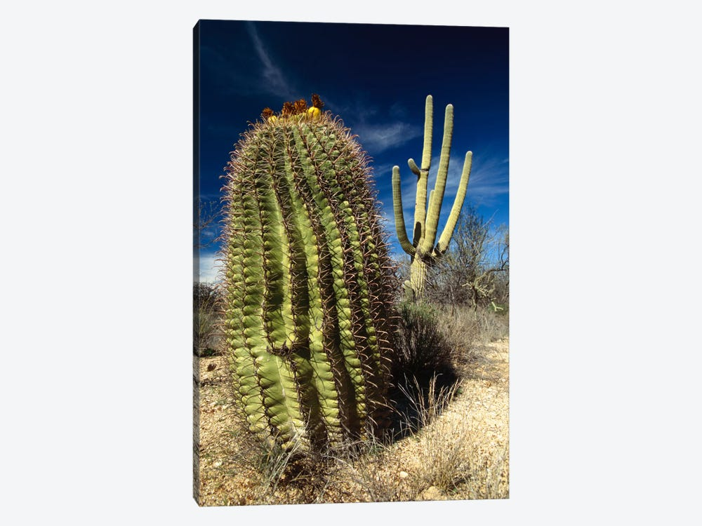Saguaro With Fishhook Barrel Cactus In The Foreground, Sonoran Desert, Arizona by Gerry Ellis 1-piece Canvas Wall Art