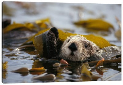 Sea Otter Floating In Kelp Bed, Northern Pacific Ocean Canvas Art Print