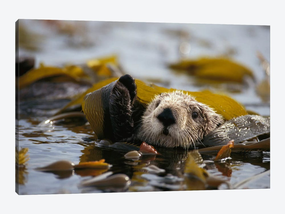 Sea Otter Floating In Kelp Bed, Northern Pacific Ocean by Gerry Ellis 1-piece Canvas Print