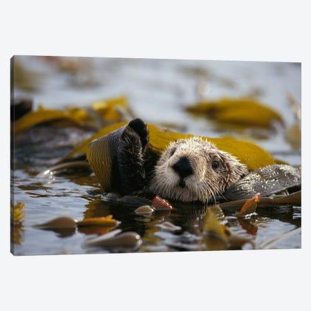 Sea Otter Floating In Kelp Bed, Northern Pacific Ocean 3-Piece Canvas #GEE22} by Gerry Ellis Canvas Artwork
