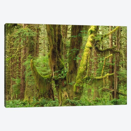 Temperate Rainforest Interior, Queets River Valley, Olympic National Park, Washington Canvas Print #GEE26} by Gerry Ellis Canvas Art Print