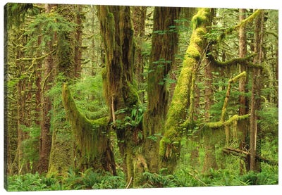 Temperate Rainforest Interior, Queets River Valley, Olympic National Park, Washington Canvas Art Print