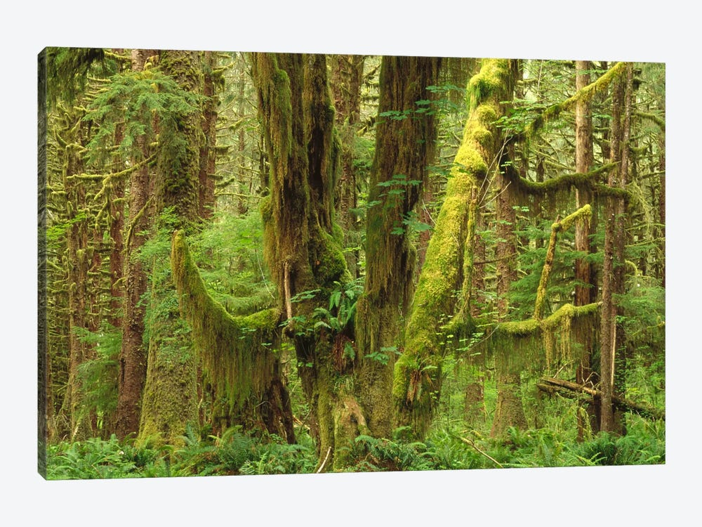 Temperate Rainforest Interior, Queets River Valley, Olympic National Park, Washington by Gerry Ellis 1-piece Art Print