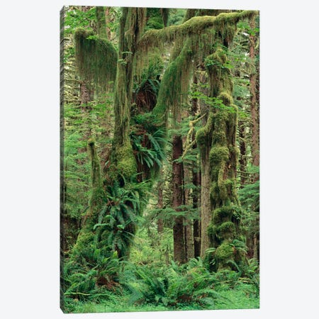 Temperate Rainforest With Moss Covered Trees And Ferns, Queets River Valley, Olympic National Park, Washington Canvas Print #GEE27} by Gerry Ellis Canvas Art Print