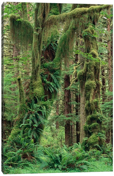 Temperate Rainforest With Moss Covered Trees And Ferns, Queets River Valley, Olympic National Park, Washington Canvas Art Print
